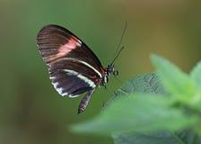 Papillon de facteur Photos stock