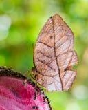 Papillon de feuille Image libre de droits
