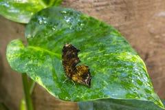 Papillon de feuille de Polygonia sur une feuille Image libre de droits