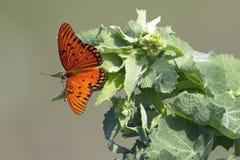 Papillon de fritillaire de Golfe sur une usine Photo libre de droits