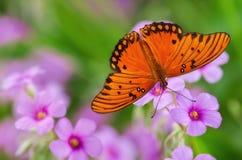 Papillon de fritillaire de Golfe (vanillae d'Agraulis) Photo libre de droits