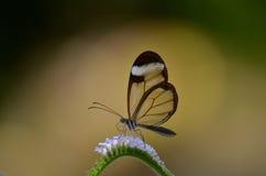 Papillon de Glasswing Photographie stock libre de droits