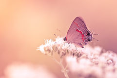Papillon de Hairstreak sur la fleur Image stock