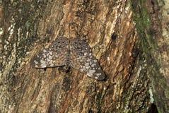 Papillon de Hamadryas Image libre de droits