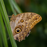Papillon de hibou Photo stock