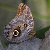 Papillon de hibou image libre de droits
