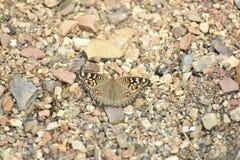 Papillon de hibou avec le fond en pierre Image libre de droits