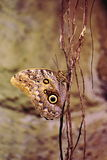 Papillon de hibou (eurilochus de Caligo) Photos stock