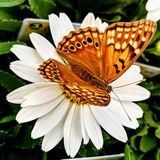 Papillon de jardinerie Image libre de droits