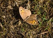 Papillon de jurtina de Brown Maniola de pré photo stock