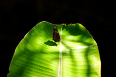 Papillon de klugii d'Euploea sur le fond noir vert Image stock
