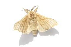 Papillon de la mite en soie Photographie stock