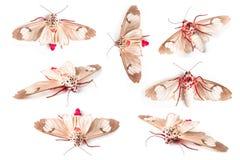 Papillon de la mite en soie Photographie stock libre de droits