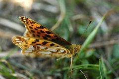 Papillon de lion Image stock