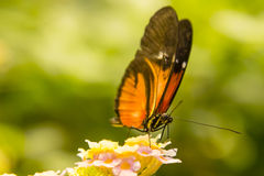 Papillon de Longwing alimentant sur le Lantana Photographie stock