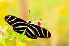 Papillon de Longwing de zèbre Photographie stock