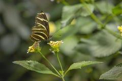 Papillon de Longwing de zèbre buvant du Lantana Images stock