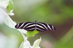 Papillon de Longwing de zèbre Photo stock