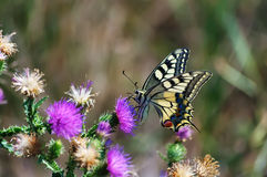 Papillon de machaon Photos stock