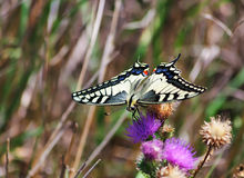 Papillon de machaon Image libre de droits
