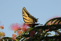 Papillon de machaon alimentant sur la fleur de mimosa Photographie stock libre de droits
