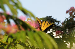 Papillon de machaon alimentant sur la fleur de mimosa Images libres de droits
