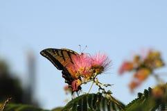 Papillon de machaon alimentant sur la fleur de mimosa Photo libre de droits