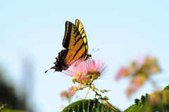 Papillon de machaon alimentant sur la fleur de mimosa Images stock