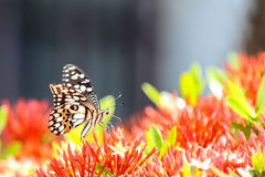 Papillon de machaon alimentant sur la fleur rouge photographie stock libre de droits