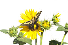 Papillon de machaon avec le tournesol Photos stock