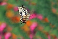 Papillon de machaon déménageant au-dessus des fleurs sur un pré lumineux d'été photographie stock