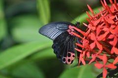Papillon de machaon d'écarlate avec la diffusion d'ailes ouverte sur un Cluste Photographie stock libre de droits