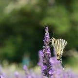 Papillon de machaon de Vieux Monde sur la lavande Photographie stock