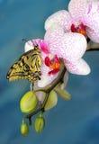 Papillon de machaon et orchidée de fleur Photo stock