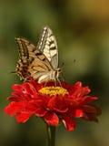 Papillon de machaon (machaon de Papilio) Photo libre de droits