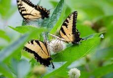 Papillon de machaon sur des Wildflowers Image libre de droits