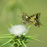 Papillon de machaon sur l'épine photos libres de droits