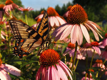 Papillon de machaon sur l'Echinacea Photos libres de droits