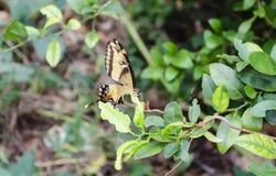 Papillon de machaon sur la feuille de chaux photographie stock libre de droits