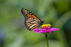 Papillon de machaon sur la fleur photo libre de droits