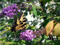 Papillon de machaon sur le buisson de papillon pourpre Image stock