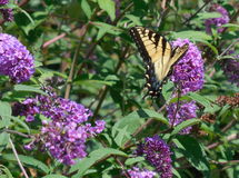 Papillon de machaon sur le buisson de papillon pourpre Photographie stock libre de droits