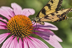Papillon de machaon sur le coneflower Image stock