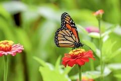 Papillon de machaon sur une fleur Photographie stock