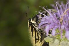 Papillon de machaon de tigre forageant sur la fleur de baume d'abeille de lavande Photo stock