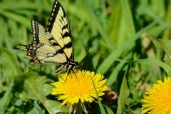 Papillon de machaon visitant un pissenlit Photo libre de droits