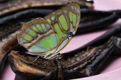 Papillon de malachite Photographie stock libre de droits