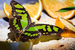 Papillon de malachite alimentant sur des fruits Image libre de droits