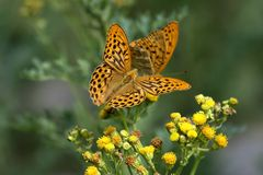 Papillon de manteau d'empereur Photos stock