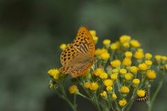 Papillon de manteau d'empereur Images libres de droits